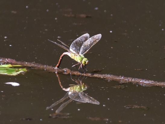 Fotografía de la libélula del Aeschnidae familiar