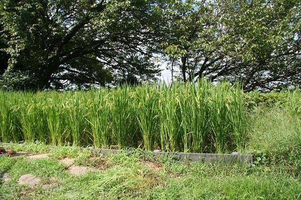 Fotografía de la oreja de arroz