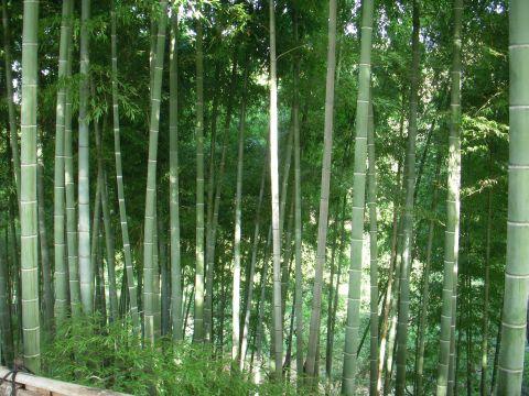 Fotografía de bosques de bambú