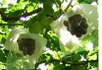 Imagen de la imagen de la uva playera