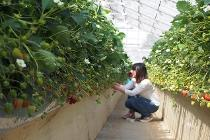 Photograph of strawberry crop experience