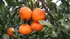 La naranja mandarina que grandemente creció