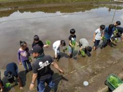 Image of rice-transplanting