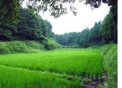 Photograph of rice field scenery