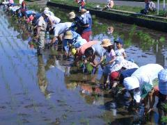 Photograph of state planting rice in experience-based rice field