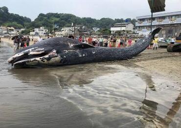 가마쿠라의 해안에 밀려온 고래의 사진