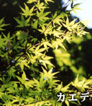 """Photograph of tree """"maple"""" of ward"""