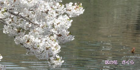 Cherry blossoms which bloom in surface of a river of great Okagawa