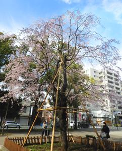 Utamaru cherry blossoms
