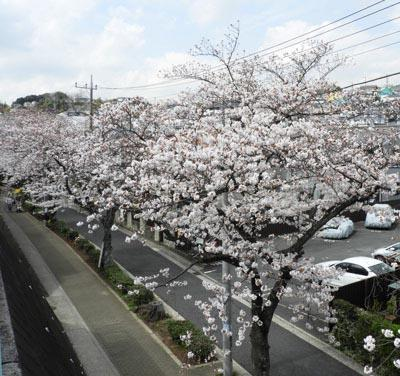 Cherry blossoms 2 of row of cherry blossom trees way of Bessho
