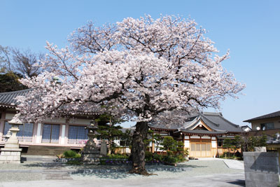 Cherry blossoms which bloom in spring of the House of Buddha's oath