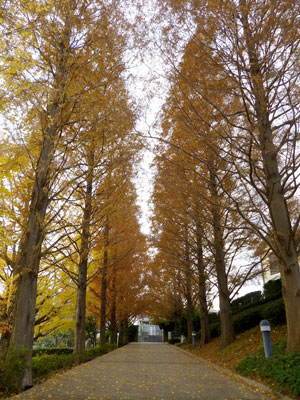 Colored leaves of metasequoia