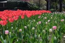 Photograph 1 of tulip of April 1