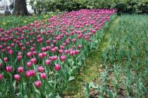 Photograph 7 of tulip of March 28
