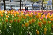 Photograph 4 of tulip of April 14