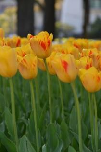 Photograph 6 of tulip of April 14