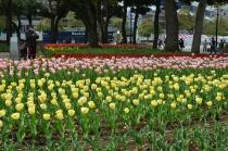 Photograph 1 of tulip of April 9