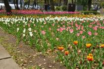 Photograph 4 of tulip of April 9
