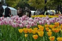 Photograph 6 of tulip of April 9