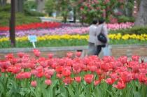 Photograph 7 of tulip of April 9