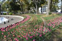 Photograph 3 of tulip of April 8
