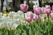 Photograph 7 of tulip of April 8