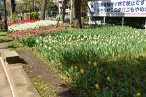 Photograph 6 of tulip of April 7