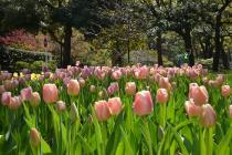 Photograph 7 of tulip of April 7