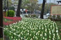Photograph 4 of tulip of April 3