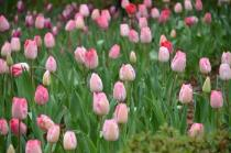 Photograph 6 of tulip of April 3