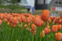 Photograph 6 of tulip of April 15