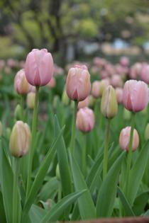 Photograph 7 of tulip of April 3