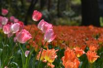 Photograph 1 of tulip of April 11