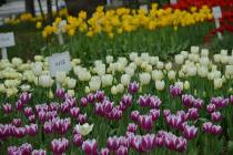 Photograph 1 of tulip of April 6