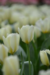 Photograph 6 of tulip of April 4