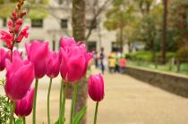 Photograph 3 of tulip of March 30
