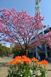 Photograph 2 of yokohamahizakura of March 29