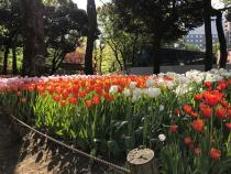 Photograph 1 of tulip of April 10