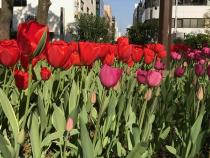 Photograph 2 of tulip of April 10