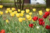 Photograph 4 of tulip of April 6