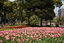 Photograph 2 of tulip of April 2
