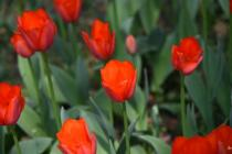 Photograph 3 of tulip of March 28