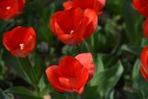 Photograph 2 of tulip of March 26
