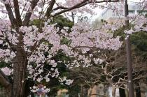 Photograph 2 of cherry blossoms of March 26