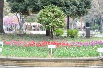 Photograph 3 of tulip of April 2