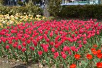 Photograph 1 of tulip of April 5