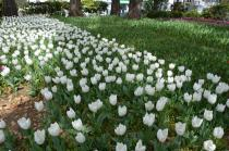 Photograph 3 of tulip of April 5