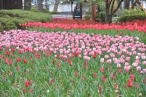 Photograph 2 of tulip of April 8
