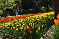 Photograph 1 of tulip of April 16