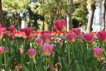 Photograph 4 of tulip of April 16